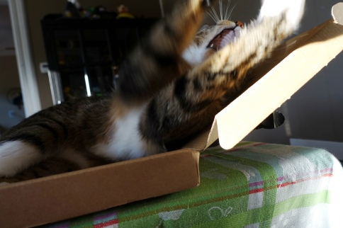 Luna in keyboard box stretching and yawning toward camera