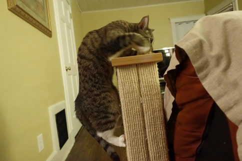 Luna pulling herself onto scratching post