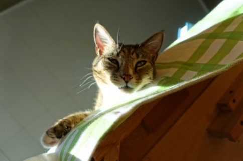 Luna squinting over edge of table with paw and bright light