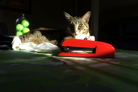 Luna on table half in shadow posing with apples and stapler