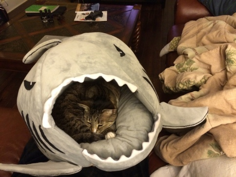 Luna in shark on sofa near blanket taking nap