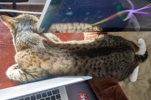 Luna between laptop and monitor with feet spread closer up