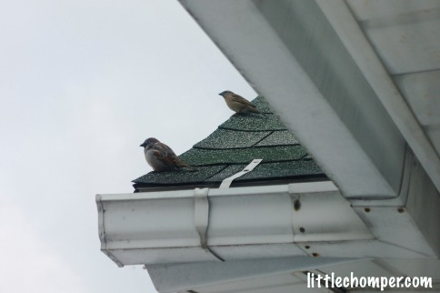 Two birds on the edge of the rooftop