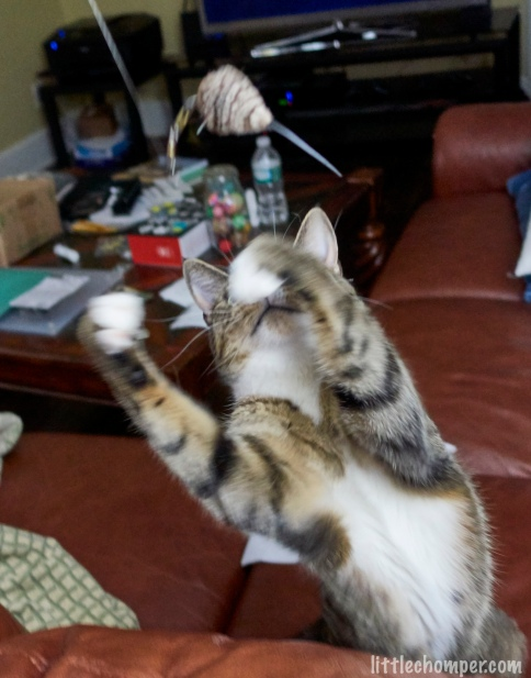 Luna grabbing for toy mouse
