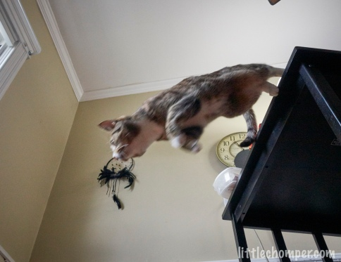 Luna jumping down from table from below to side with feet still touching table and head near window