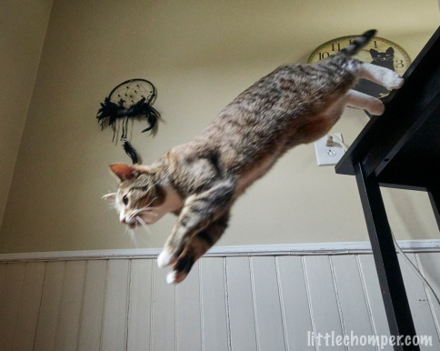 Luna jumping down from table with feet still touching edge of table from below to side