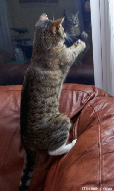 Luna on hind legs on sofa upholstery grabbing toy mouse with front paws