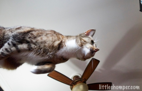 Luna starting to leap from table from below with feet still on table