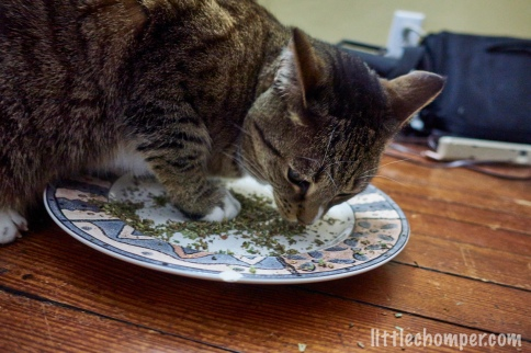 Luna with paw in catnip sniffing it