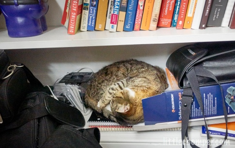 Luna curled up on bottom shelf of bookcase