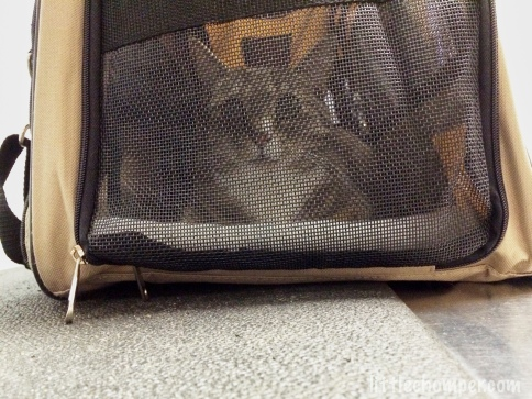 Luna in cat carrier looking through screen