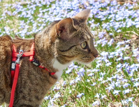Luna in harness in front of purple flowers