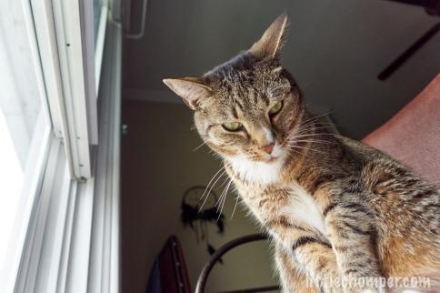 Luna on chair near kitchen window peering downward sternly