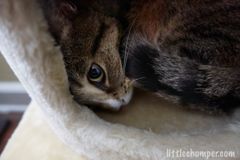 Luna curled up in cat tree with big eye looking forward