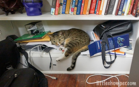 Luna on lower bookshelf with foot hanging