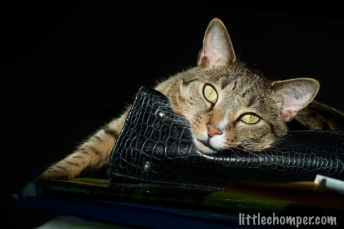 Luna resting head on purse looking at camera