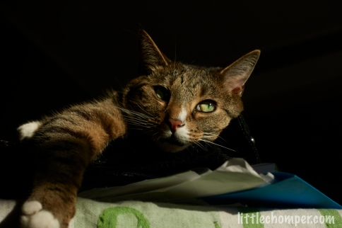 Luna resting on purse with paw to front left and eyes looking right in shadows