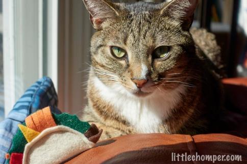 Luna looking at camera next to catnip taco