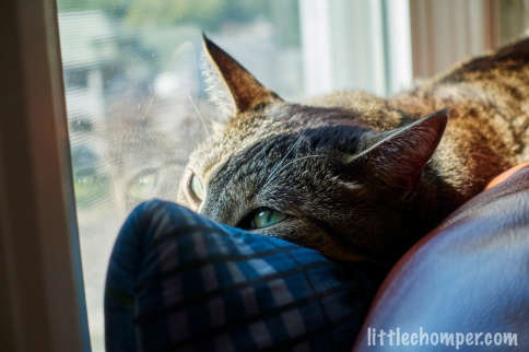Luna lying on pillow near window with nose hidden