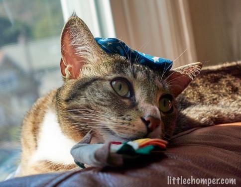 Luna with bowtie on head resting head near catnip taco