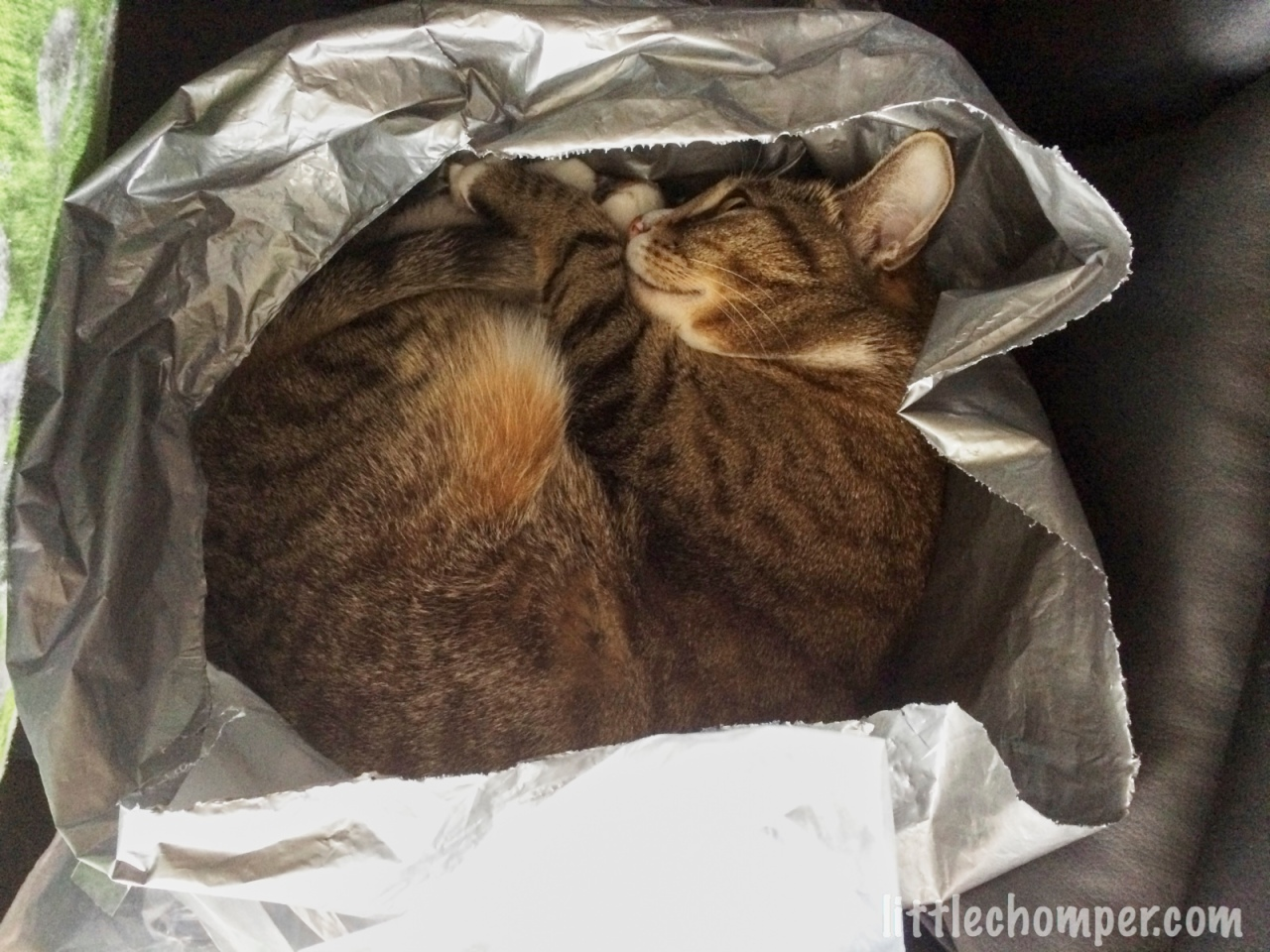 Luna in gray plastic bag curled up.jpg