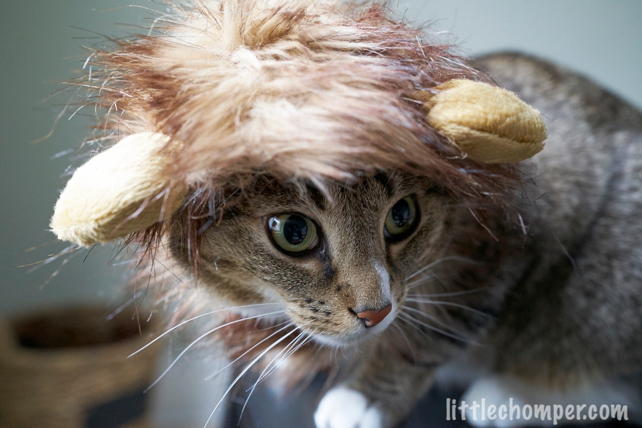 Luna wearing lion costume looking to right.jpg
