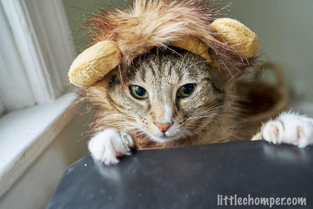 Luna wearing Lion costume with paws on edge of stool.jpg