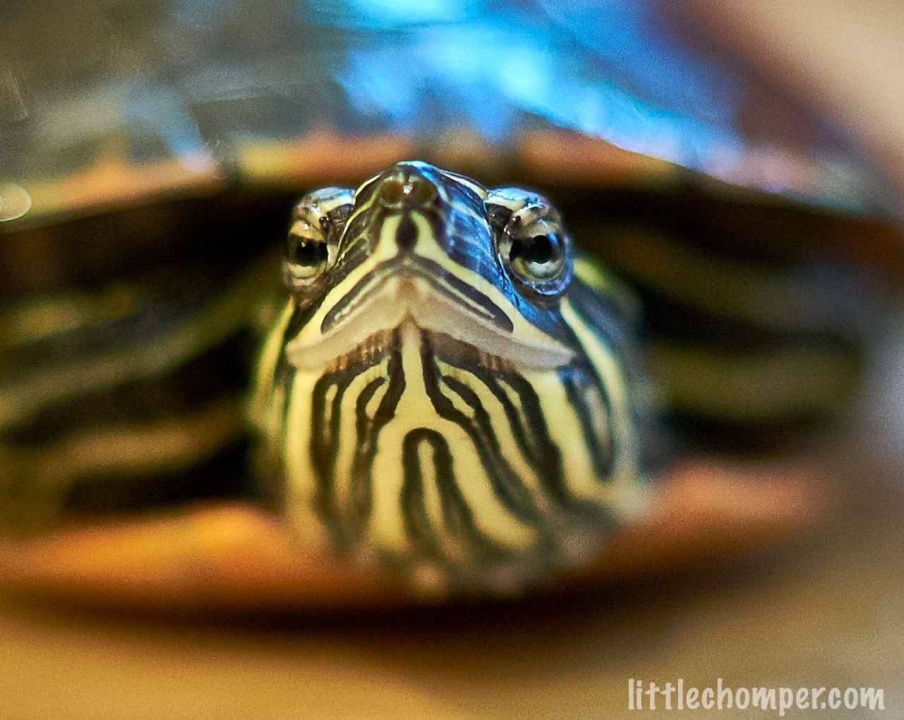 Turtle looking slightly to left with blue pills in front close up.jpg