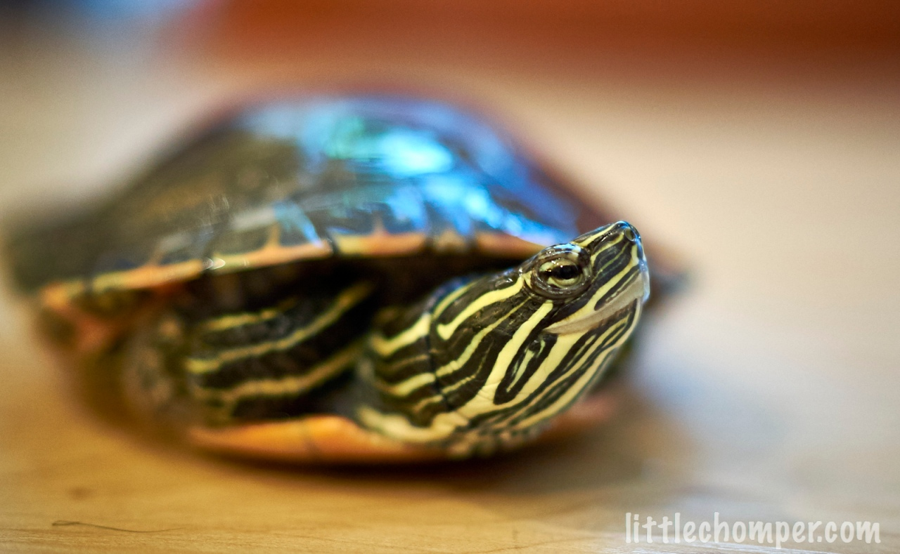 Turtle looking to right with blue pills in front.jpg
